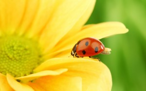 Sfondi HD animali - wallpapers coccinella