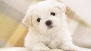 Sfondi desktop HD animali cagnolino