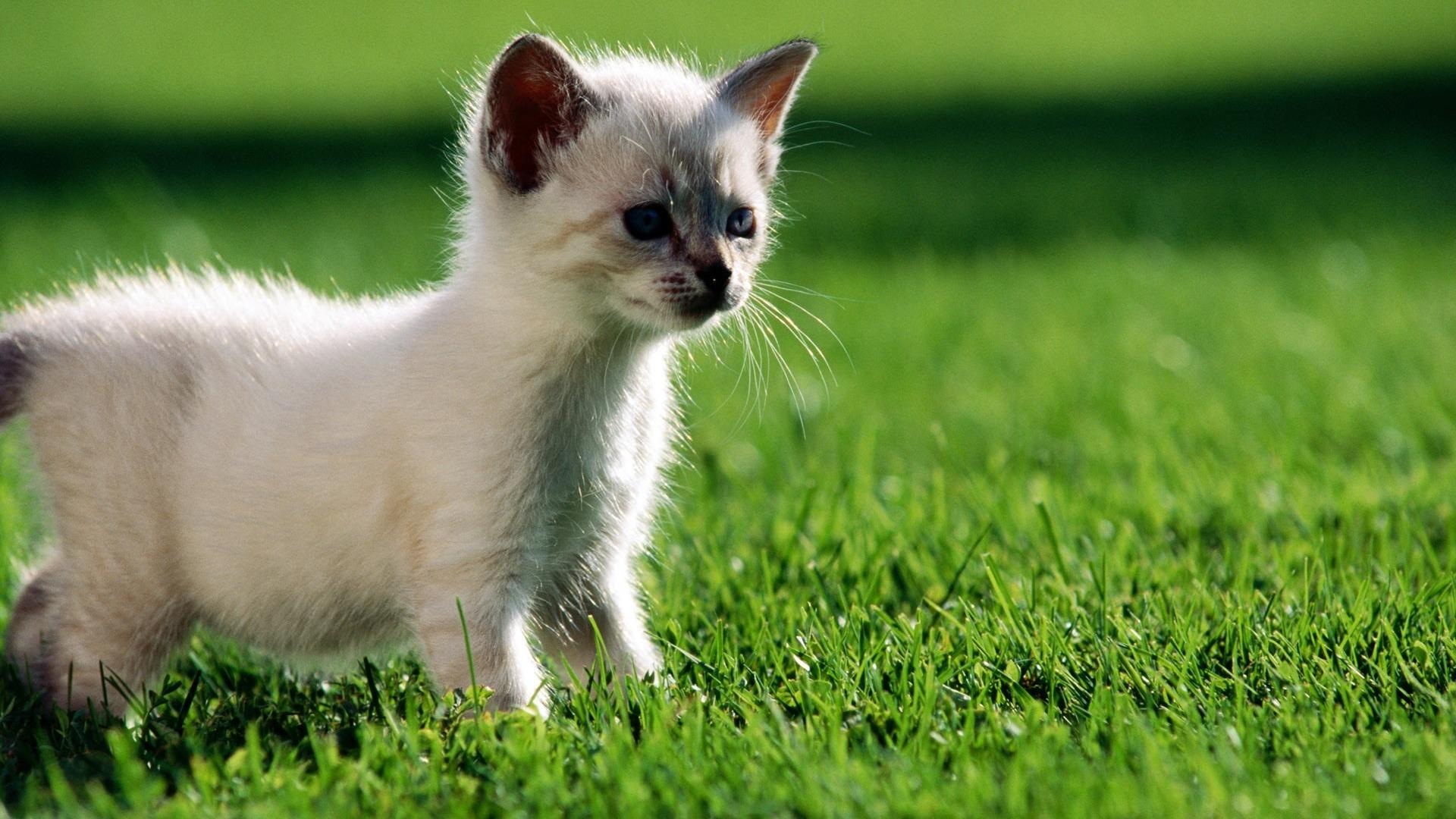 Sfondi desktop hd animali gattino curioso sfondi hd gratis for Sfondi animali hd