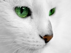 Sfondi desktop HD animali - gatto bianco