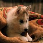 Sfondi desktop HD cani cucciolo husky