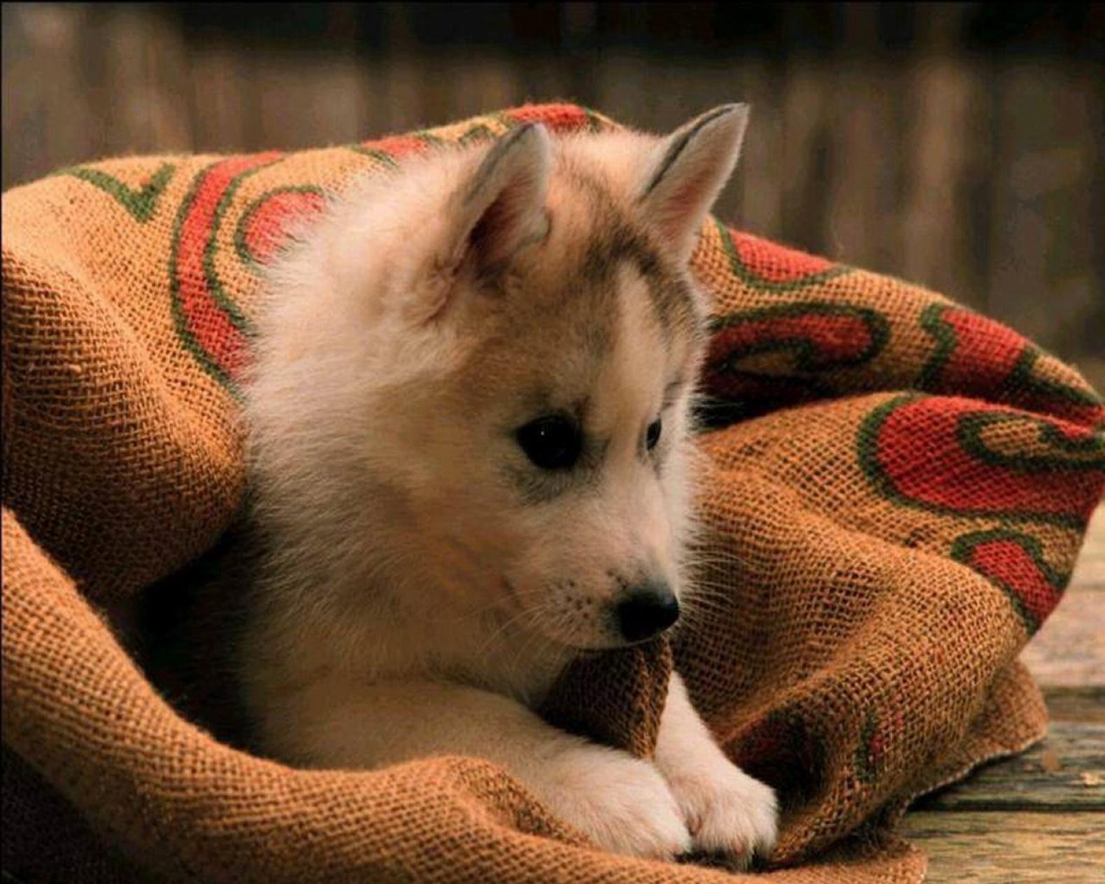 Sfondi desktop hd cani cucciolo husky sfondi hd gratis for Sfondi animali hd