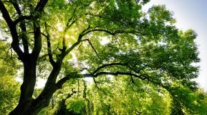 Sfondi desktop paesaggi HD - albero secolare