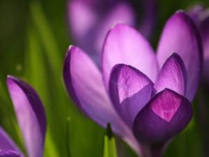 Sfondi desktop primavera HD - crocus