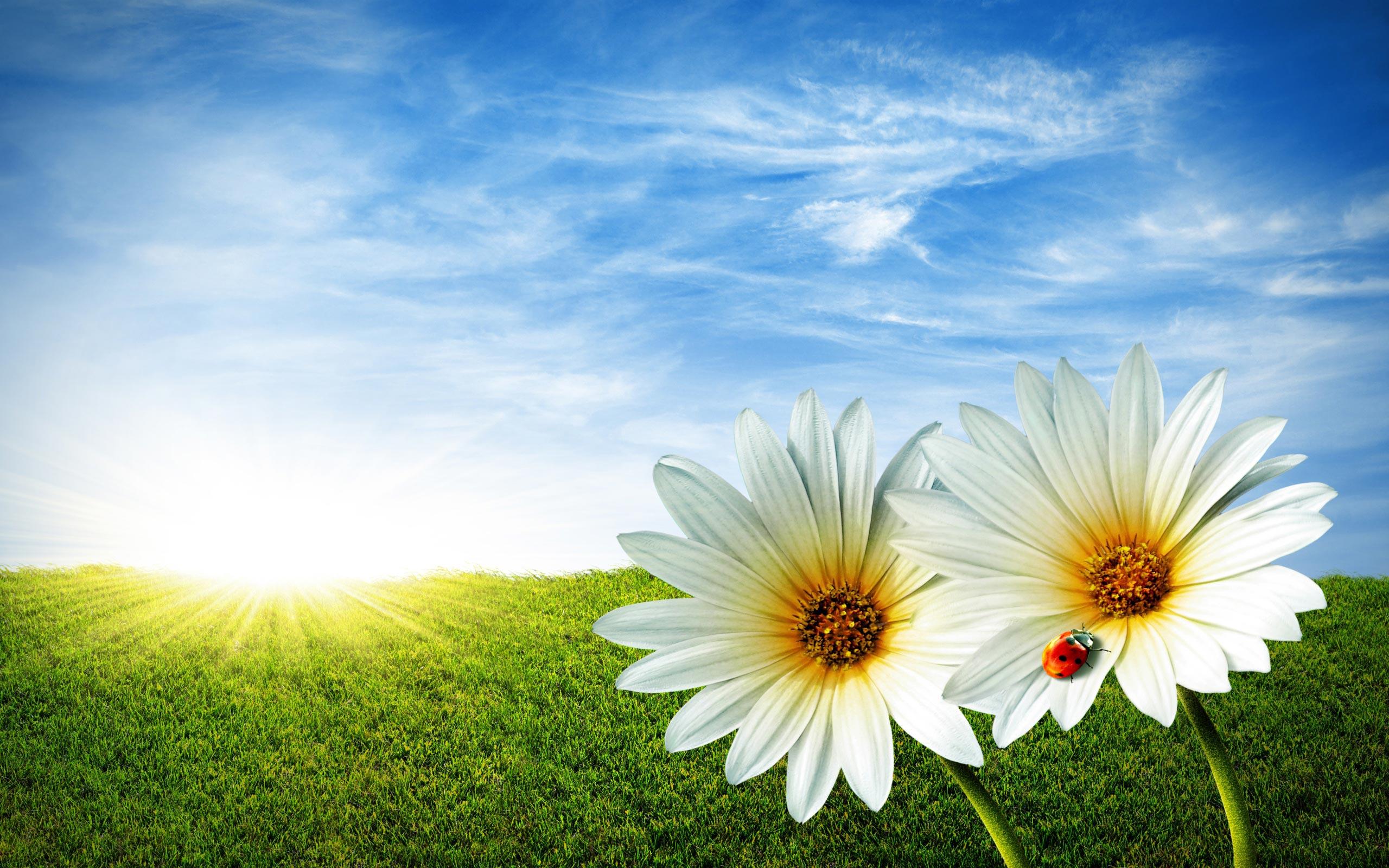 Sfondi primavera hd margherite sfondi hd gratis for Sfondi hd gratis