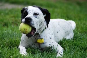 Sfondi animali HD per desktop - cane