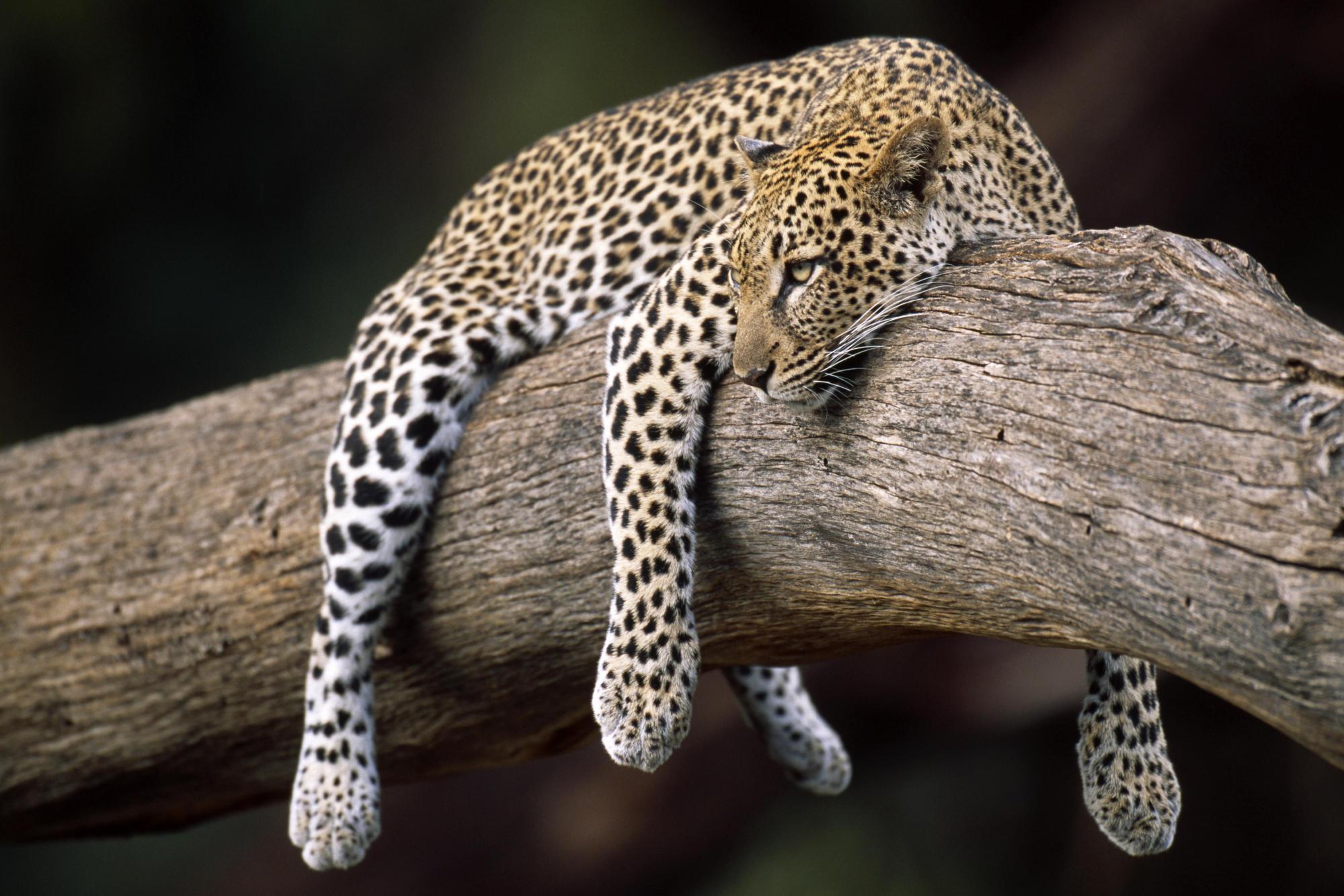 Sfondi animali hd per desktop ghepardo sfondi hd gratis for Sfondi animali hd