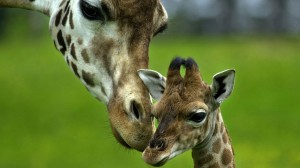 Sfondi animali HD per desktop - giraffe