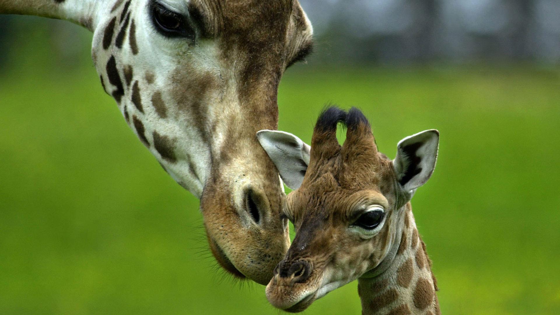 Sfondi animali hd per desktop giraffe sfondi hd gratis for Animali desktop
