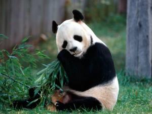 Sfondi-animali-HD-per-desktop-panda
