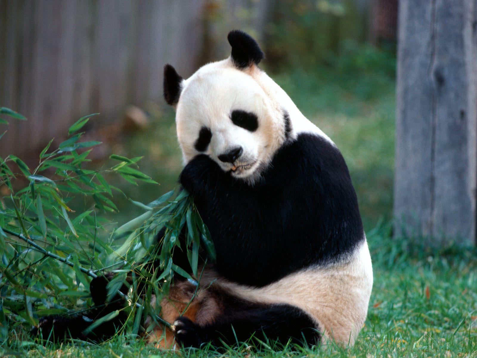 Sfondi animali hd per desktop panda sfondi hd gratis for Sfondi animali hd