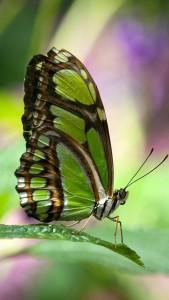 Sfondi iphone 5 gratis - farfalla