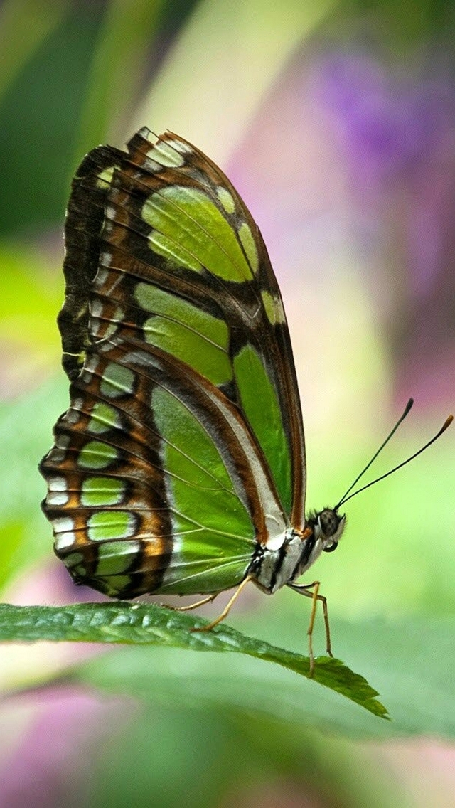 Amato Sfondi iphone 5 gratis – farfalla | sfondi HD gratis XF31