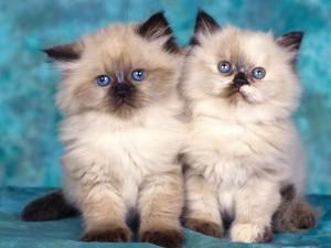 Sfondi desktop HD animali - gattini