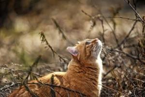 Sfondi desktop HD animali - gatto rosso