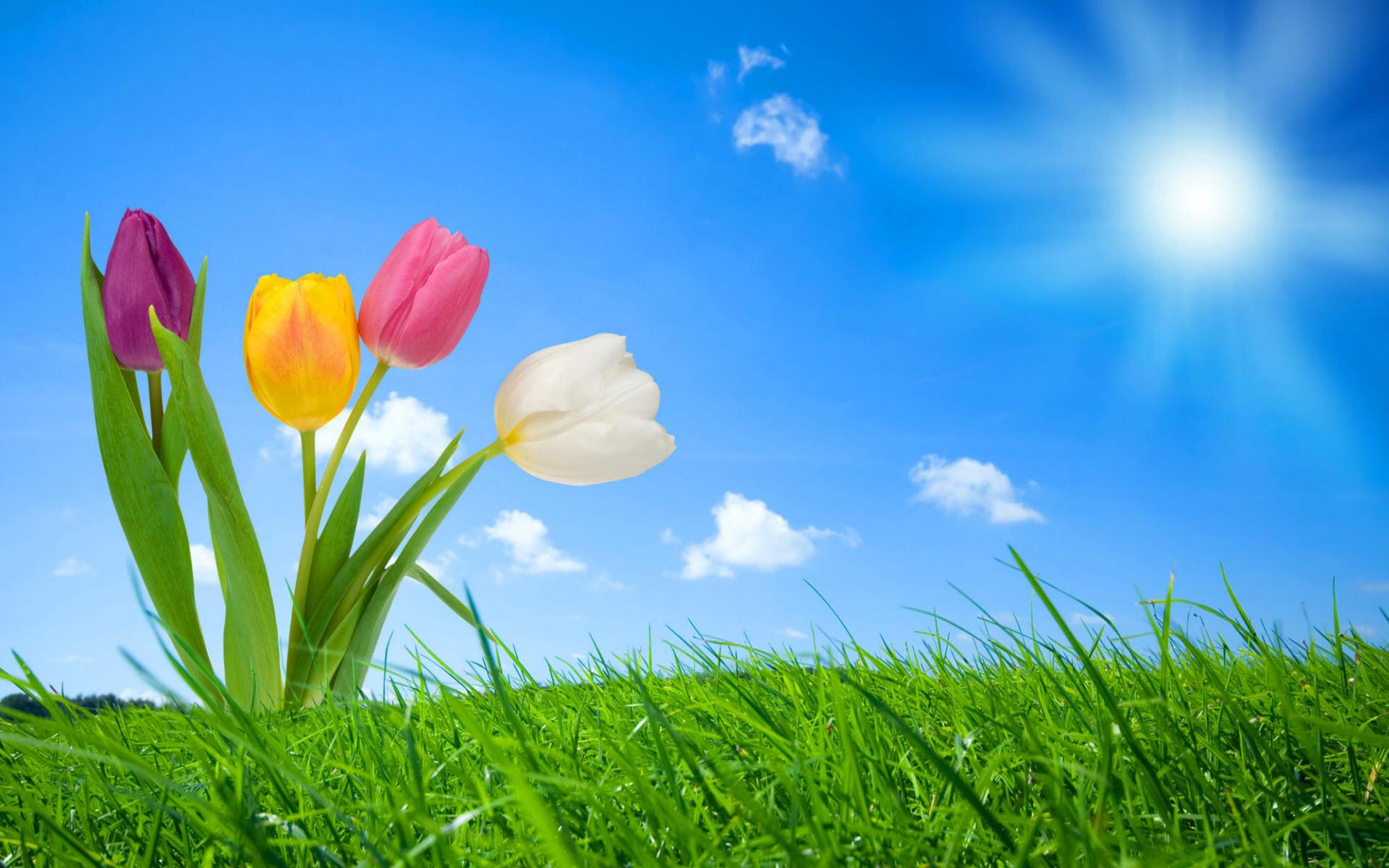 Sfondi Hd Natura Per Desktop Tulipani In Primavera Sfondi Hd Gratis