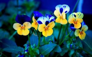 Sfondi fiori per desktop - viole del pensiero