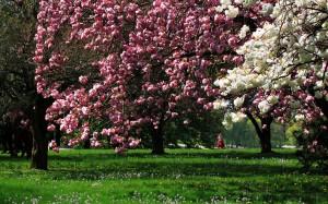 Sfondi primavera HD - alberi fioriti