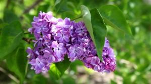 Sfondi primavera HD per desktop - fiori lilla