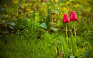 Sfondi primavera HD per desktop - tulipani