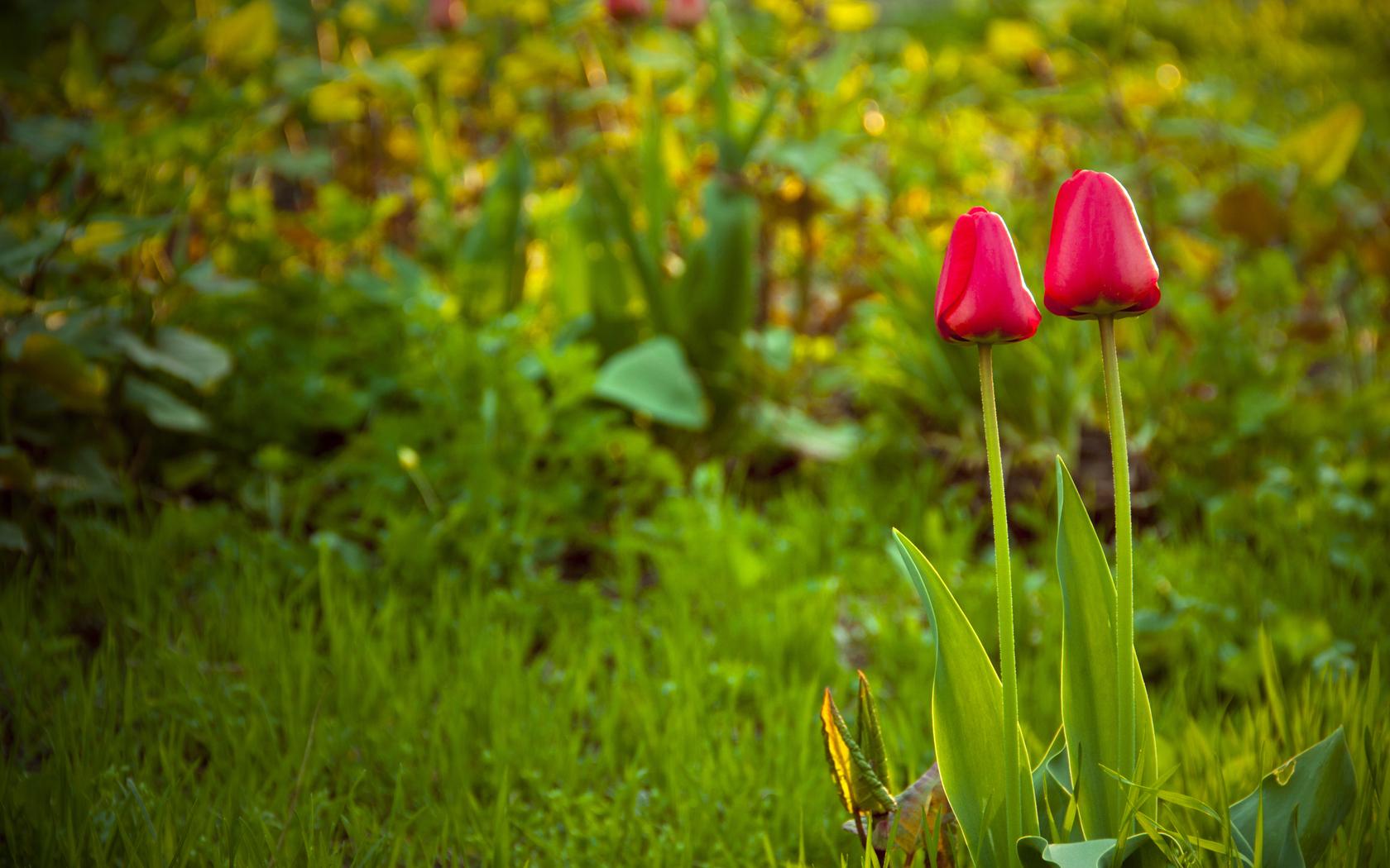 Sfondi primavera hd per desktop tulipani sfondi hd gratis for Immagini desktop primavera