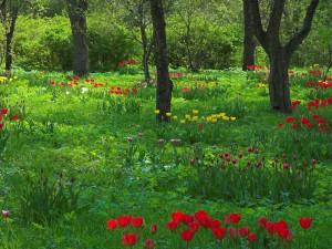 Sfondi primavera HD - tulipani