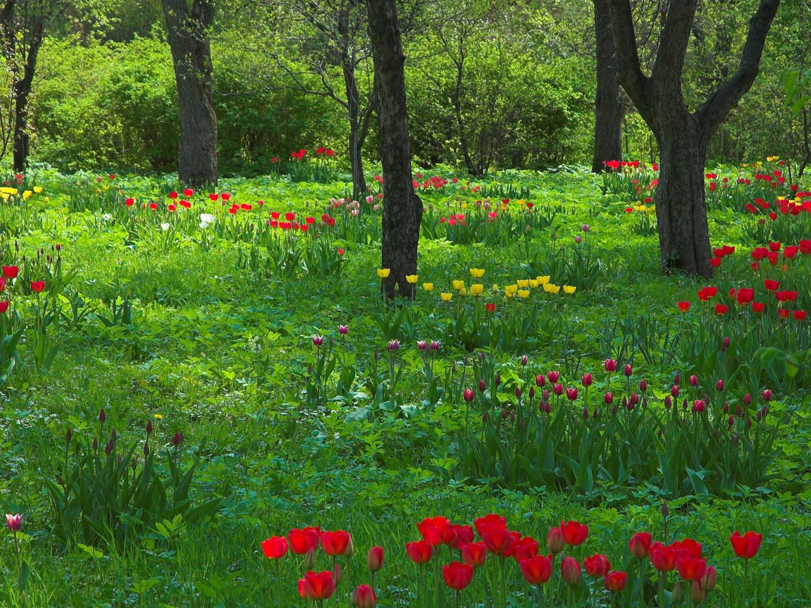 Sfondi Primavera Hd Tulipani Sfondi Hd Gratis
