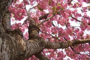 Sfondi primavera per desktop - ciliegio in fiore