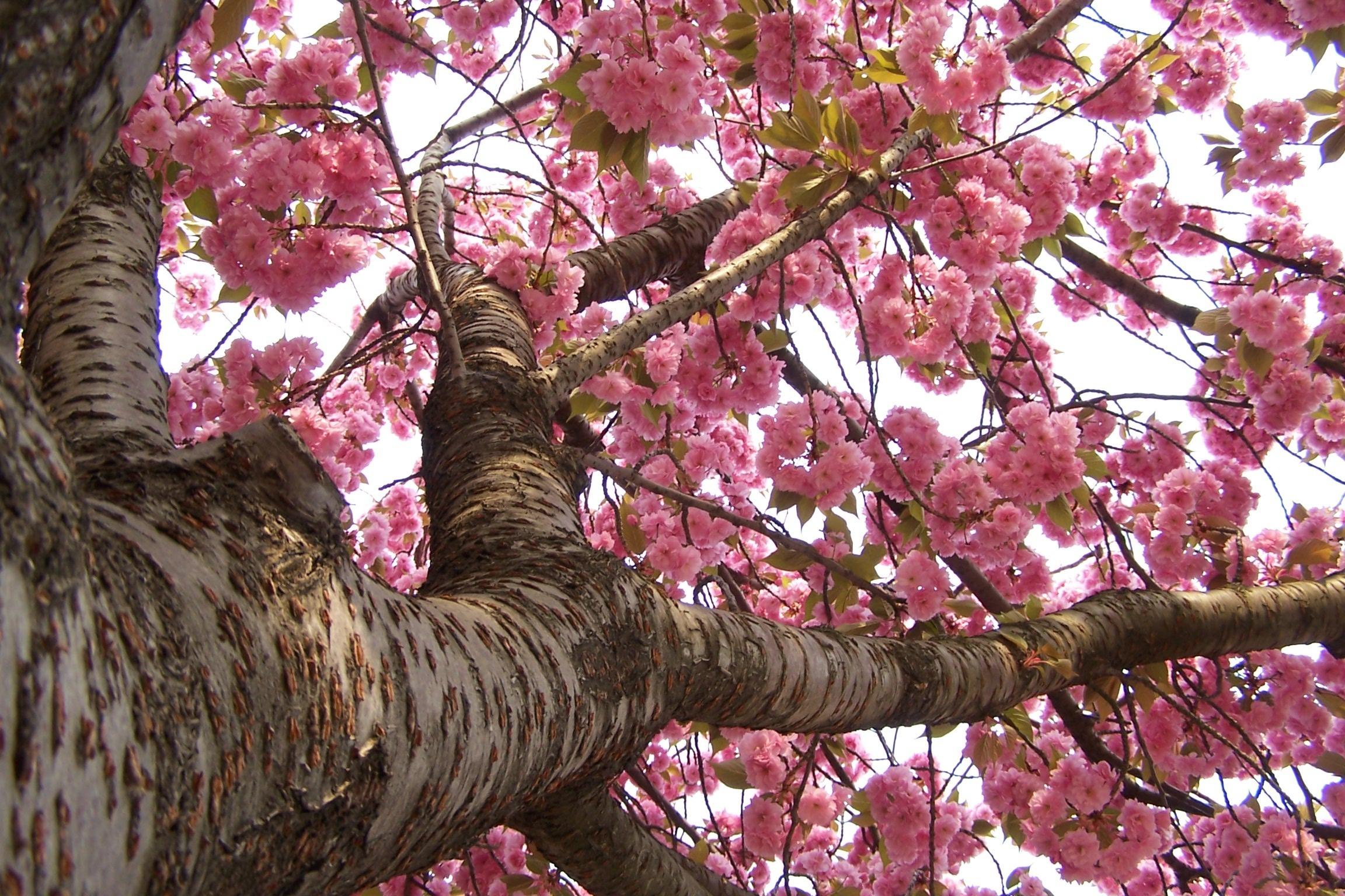 Sfondi primavera per desktop ciliegio in fiore sfondi for Sfondi desktop primavera