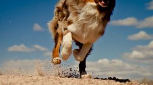 Sfondi HD animali - corsa di un cane
