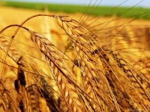 Sfondi HD natura - spighe di grano