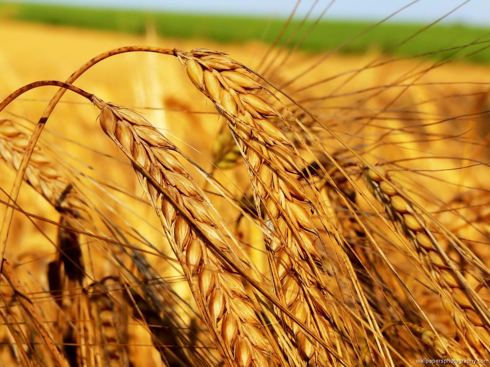 Sfondi hd natura spighe di grano sfondi hd gratis for Sfondi hd natura