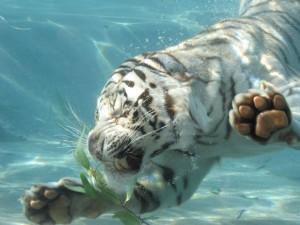 Sfondi HD - tigre bianca che nuota