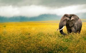 Sfondi HD elefante per desktop