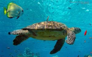 Sfondo HD tartaruga