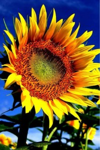 Sfondi HD iphone - girasole