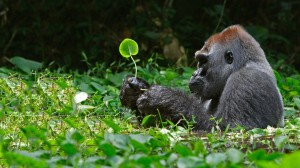 Sfondi HD gorilla