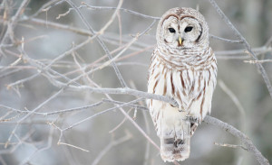 Sfondo HD inverno - gufo bianco