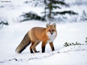 Sfondo HD volpe rossa