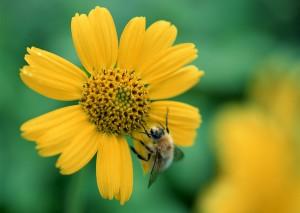 Sfondi HD natura ape sul fiore