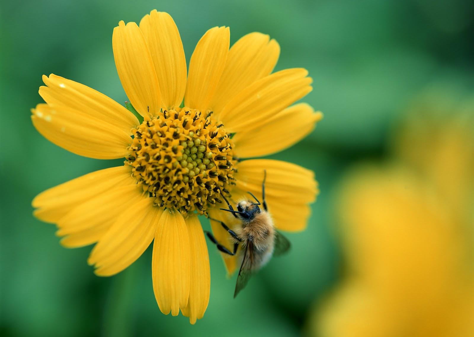 Sfondi hd natura ape sul fiore sfondi hd gratis for Sfondi hd natura