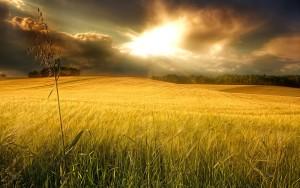 Sfondi HD natura campo di grano