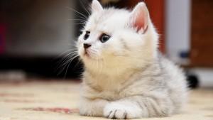 Sfondo HD gattino