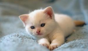 Sfondo HD gattino bellissimo