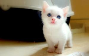 Sfondo HD gattino bianco