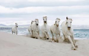 Sfondi desktop HD cavalli bianchi