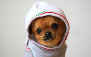 Sfondi cane chihuahua dolcissimo