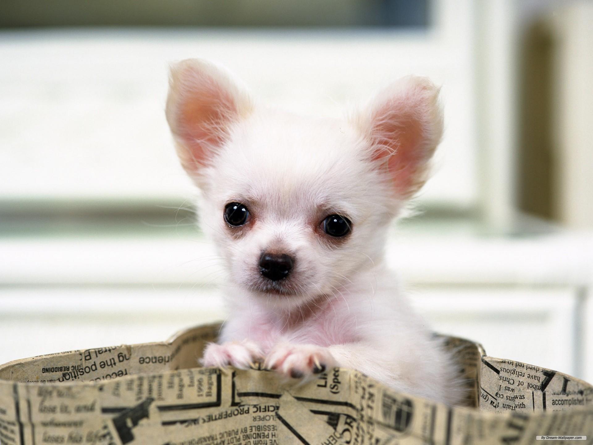 Sfondi cani chihuahua hd sfondi hd gratis for Sfondi animali hd