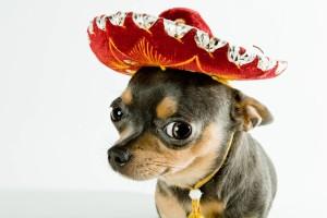 Sfondi cani chihuahua con sombrero