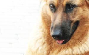 Sfondo HD cane pastore tedesco